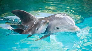 bottlenose-dolphins-mother-baby-list-300